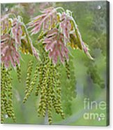 Oak Blossoms Acrylic Print