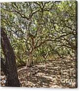Oak Forest - The Magical And Mysterious Trees Of The Los Osos Oak Reserve Acrylic Print