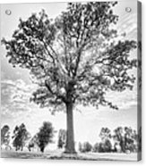 Oak Tree Bw Acrylic Print