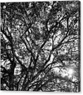 Oak's Web Acrylic Print