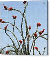 Ocatillo With Red Blossoms Acrylic Print