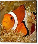 Ocellaris Clown Fish No 1 Acrylic Print