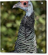 Ocellated Turkey Hen Acrylic Print
