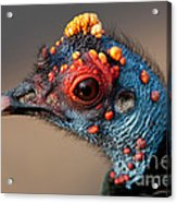 Ocellated Turkey Portrait Acrylic Print