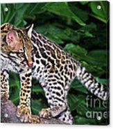 Ocelot Felis Pardalis Wildlife Rescue Acrylic Print