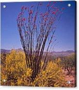 Ocotillo And Palo Verde Acrylic Print
