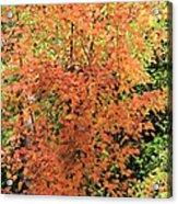 October Glory Acrylic Print