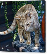 October Kitten #2 Acrylic Print