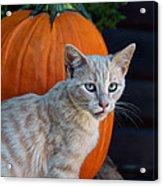 October Kitten #3 Acrylic Print