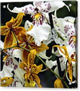Gold And White Orchids Acrylic Print