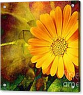 October Zinnia Acrylic Print