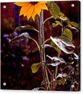 Ode To Sunflowers Acrylic Print