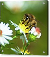 Of Bee And Flower Acrylic Print