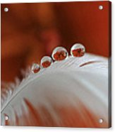 Of Roses And Droplets Acrylic Print
