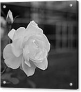 Office Roses Acrylic Print