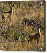 Oh Deer Acrylic Print by Charles Warren