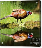 Oh My What A Handsome Pheasant Acrylic Print