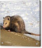 Oh Possum Acrylic Print