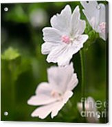 Oh So Pretty Musk Mallow Acrylic Print