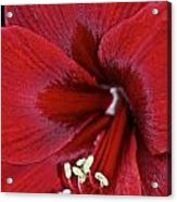 Oh So Red Acrylic Print