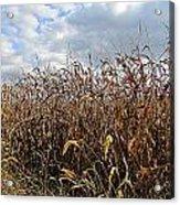 Ohio Corn Acrylic Print by Andrea Dale