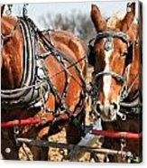 Ohio Draft Horses Acrylic Print