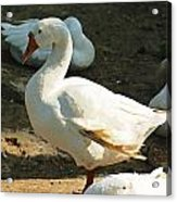 Oil Painting - A Duck Making A Pose Acrylic Print