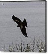 Oil Painting - A Large Bird Flying As Part Of The Birds Of Prey Show Acrylic Print