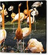 Oil Painting - A Number Of Flamingos With Their Heads Held High Inside The Jurong Bird Park Acrylic Print