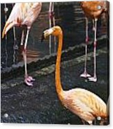 Oil Painting - Focus On A Single Flamingo Inside The Jurong Bird Park Acrylic Print