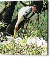 Oil Painting - Mama Stork Feeding Young Acrylic Print