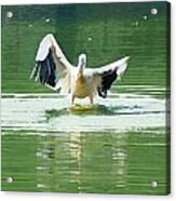 Oil Painting - Pelican Flapping Its Wings Acrylic Print