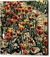 Oil Painting - Red And Yellow Tulips Inside The Tulip Garden In Srinagar Acrylic Print