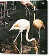 Oil Painting - The Head Of A Flamingo Under Water In The Jurong Bird Park In Singapore Acrylic Print