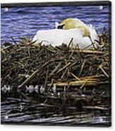 Oil Painting Nesting Swan Michigan Acrylic Print