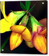 Yellow And Orange Trefoil  Acrylic Print