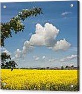 Oilseed Rape Field Against Blue Sky Acrylic Print