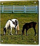 Ok Horses Acrylic Print