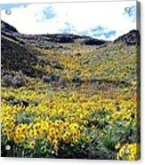 Okanagan Valley Sunflowers 1 Acrylic Print