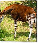 Okapi Acrylic Print