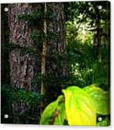 Old And Young Growth Firs Acrylic Print