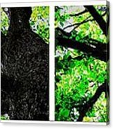 Old Barks Diptych - Deciduous Trees Acrylic Print