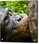 Old Chimp Acrylic Print