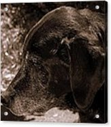 Old Dog Acrylic Print