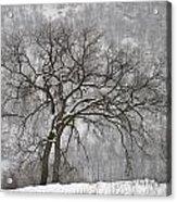 Old Elm Acrylic Print