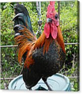 Old English Game Bantam Acrylic Print