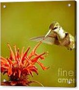 Old Fashioned Hummingbird Acrylic Print