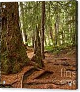 Old Growth Cedar At Cheakamus Lake Acrylic Print