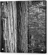 Old Growth Cedars Glacier National Park Bw Acrylic Print
