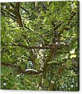Old Linden Tree Acrylic Print